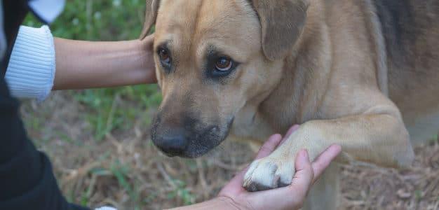 Dermatitis atopica canina